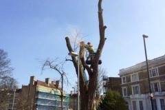Holloway, London, Removal of Dead Robina Tree